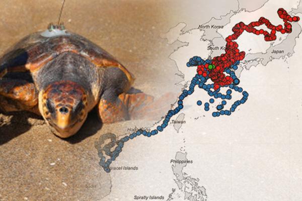Sebagian Penyu Pulang Kembali ke Laut Korsel Setelah Habiskan Musim Dingin di Laut Asia Tenggara