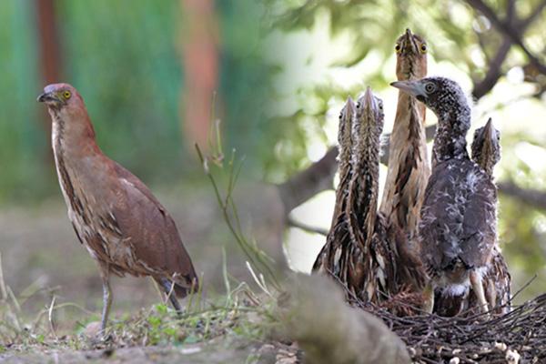 絶滅危惧種のミゾゴイ 済州島で繁殖を確認