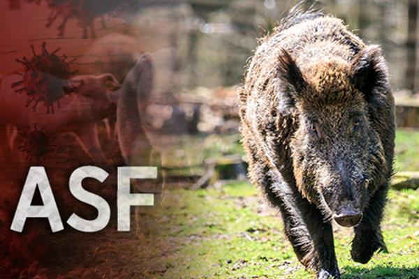철원·연천 멧돼지에서 아프리카돼지열병 바이러스 검출