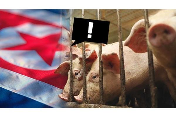 Miền Bắc đưa tin bùng phát dịch tả lợn châu Phi tại miền Nam