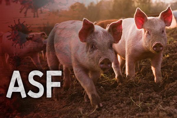 Selama Sepekan, Empat Kasus Infeksi Virus Flu Babi Afrika Dikonfirmasi di Korsel