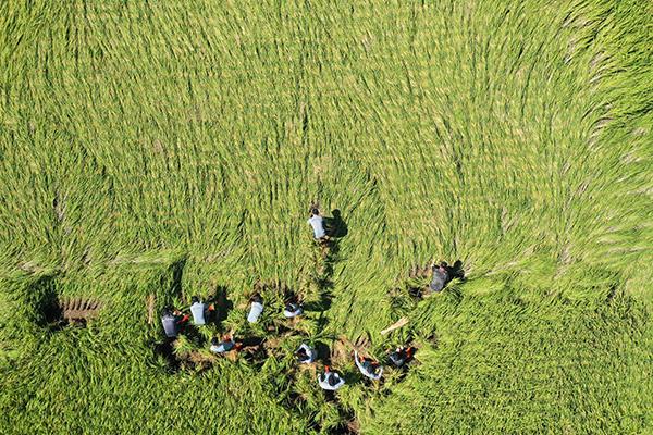 Sản lượng gạo năm 2019 ước tính giảm mạnh do điều kiện thời tiết xấu