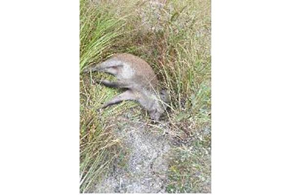 African Swine Fever Virus Found in Dead Wild Boar in DMZ