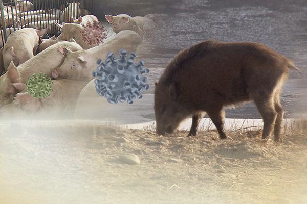 연천 멧돼지서 또 아프리카돼지열병 바이러스...민통선 아래에서 처음