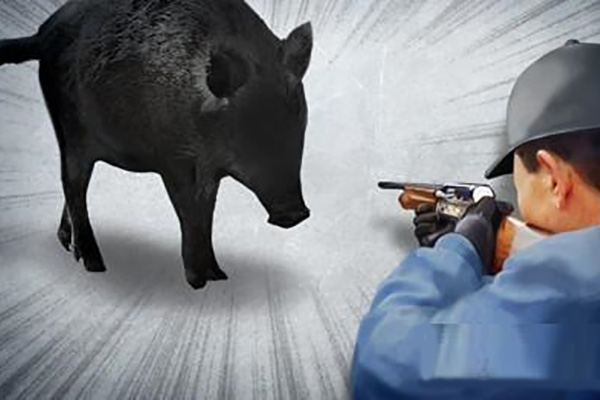 الحكومة تقوم بعمليات صيد للخنازير البرية بالقرب من الحدود بين الكوريتين