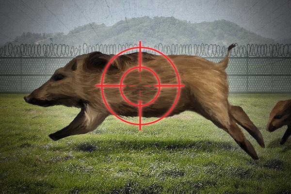 Otro equipo civil-militar sale a cazar jabalíes para frenar la peste porcina