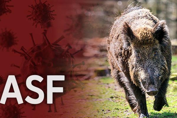 العثور على فيروس حمى الخنازير الأفريقية في جثتين من الخنازير البرية