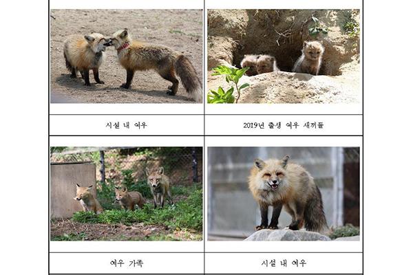 Spesies Rubah yang Terancam Punah Dilepaskan Kembali ke Gunung Sobaeksan