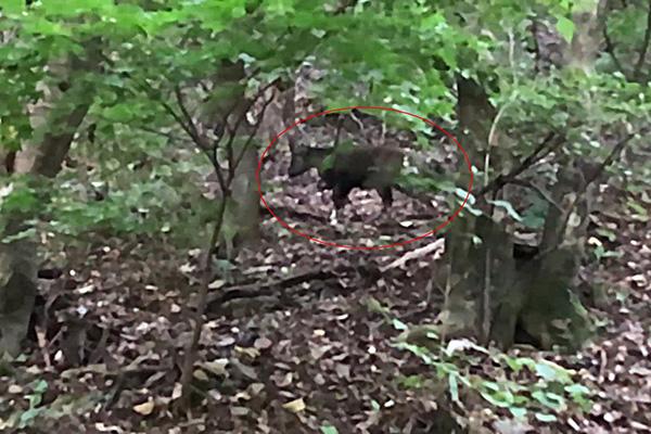 Confirman la existencia de 100 gorales en el Monte Worak