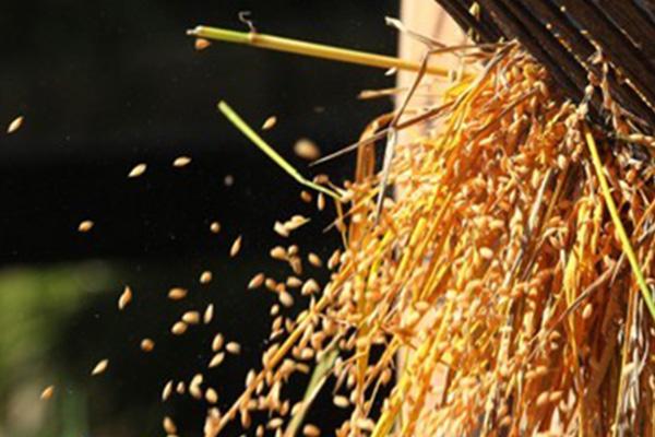 Corea del Sur mantendrá aranceles del 513% al arroz importado