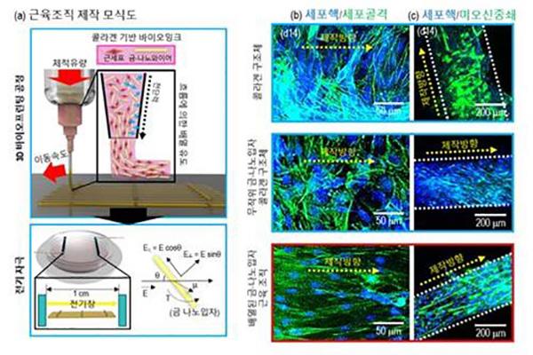 Des chercheurs sud-coréens créent des muscles artificiels
