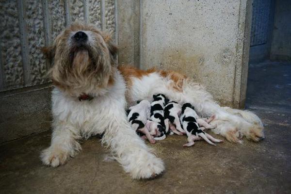Nhân giống tự nhiên thành công chó Sapsali đốm lông ngắn