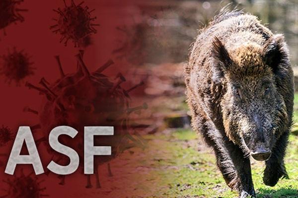 Weitere Fälle Afrikanischer Schweinepest bei Wildschweinen bestätigt
