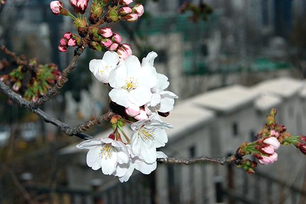 ソウルで桜が開花 観測開始以来最も早い