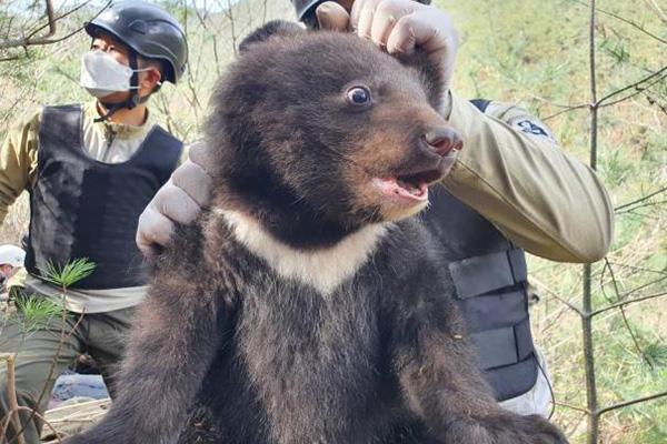 Trois bébés ours noirs d'Asie seraient nés au mont Jiri