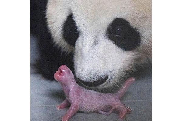 Erstes Panda-Baby in Südkorea geboren