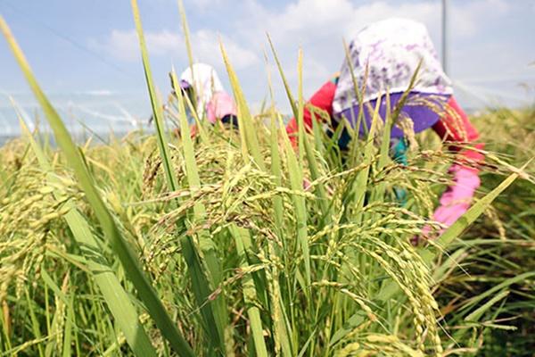 Цены на рис достигли рекордного уровня