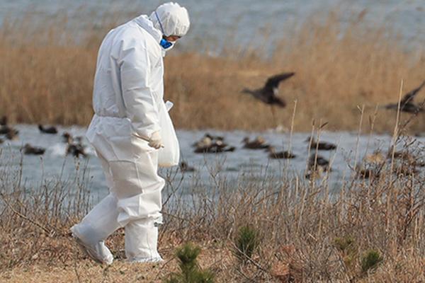 Hàn Quốc phát hiện virus cúm gia cầm độc lực cao ở chim hoang dã