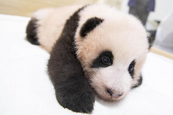 """首只在韩诞生的熊猫""""福宝""""向媒体公开"""