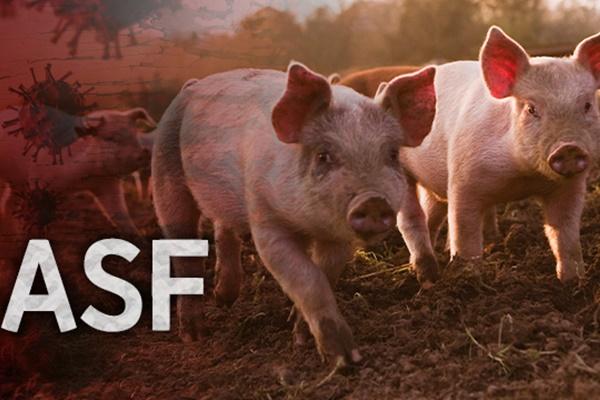 В РК выявлен первый за 7 месяцев случай африканской чумы свиней
