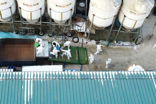 Hơn 50 trang trại Hàn Quốc nhiễm cúm gia cầm độc lực cao