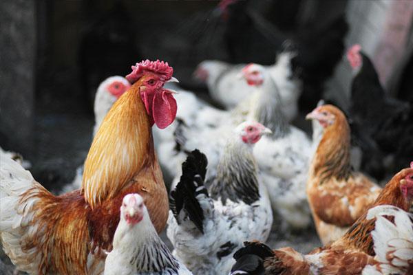 Уровень предупреждения о птичьем гриппе снижен до минимального