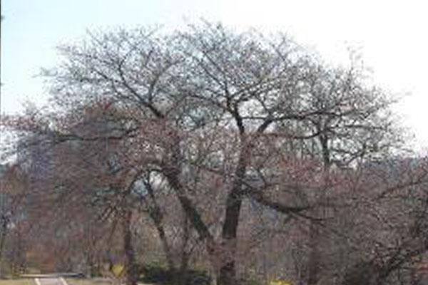今年首尔樱花自有观测以来最早开花 较往年早17天