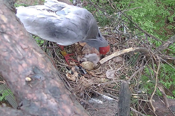 Cò quăm mào sinh sản thành công trong môi trường hoang dã sau 42 năm