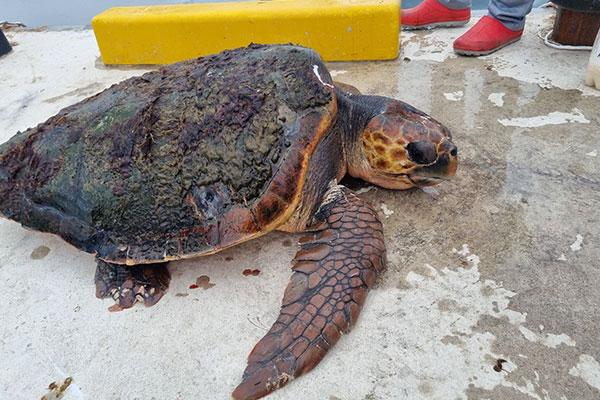 韩渔民在东海岸最北端大海里发现1只红海龟