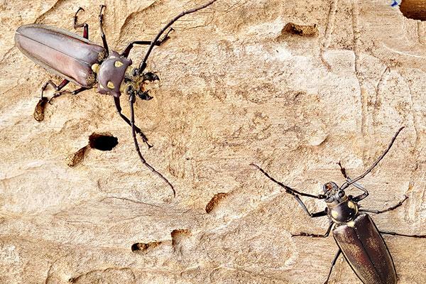 Tim Peneliti Korsel Ungkap Siklus Hidup Kumbang Callipogon