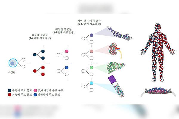 Nhóm nghiên cứu Hàn Quốc xác định được quá trình phân hóa thành mô, nội tạng của trứng thụ tinh