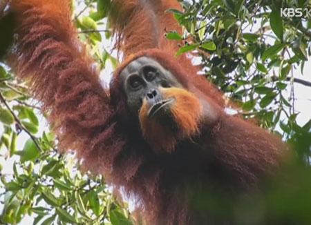 Forscher entdecken neue Orang-Utan-Art auf Sumatra
