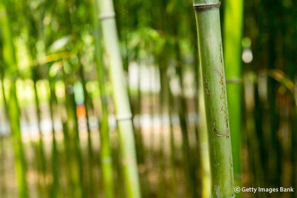 La forêt de bambous d'Arashiyama souffre du griffonnages des touristes