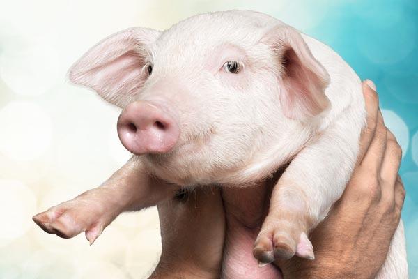 A Taïwan, le cochon est populaire comme animal de compagnie