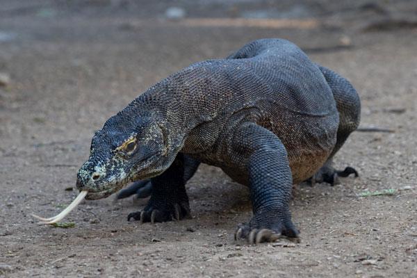 L'île de Komodo en Indonésie n'accueillera pas de touristes l'an prochain