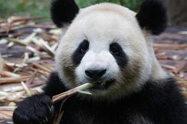 La Chine loue un couple de pandas au Danemark dans le cadre de la diplomatie