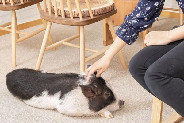 Schweinchen-Cafe in Tokio beliebt