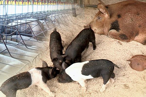 Schweinepest breitet sich in Vietnam weiter aus