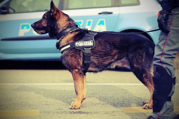 Au Kazakhstan, 885 affaires criminelles réglées grâce aux chiens policiers