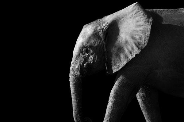 La promenade à dos d'éléphants à Angkor Wat est interdite