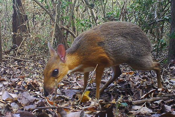 Ausgestorben geglaubte Hirschferkel in Vietnam wieder entdeckt