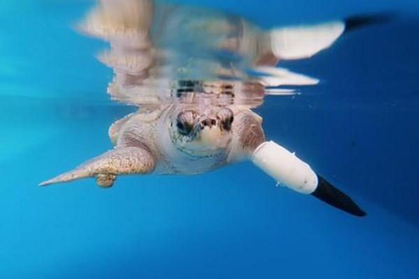 Thailand: Verletzte Meeresschildkröte bekommt Prothese