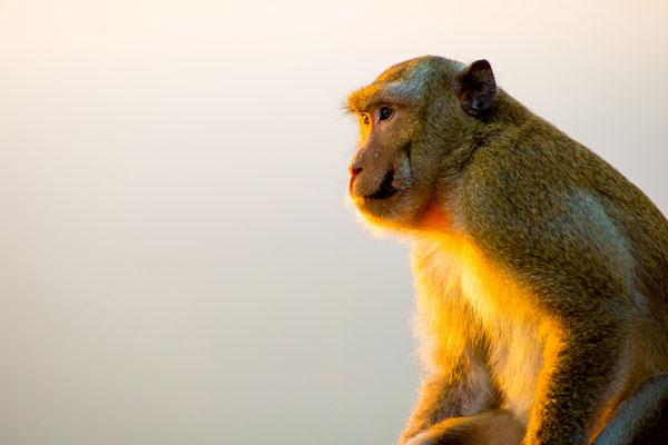 Thaïlande : « la ville des singes » stérilisera 500 primates