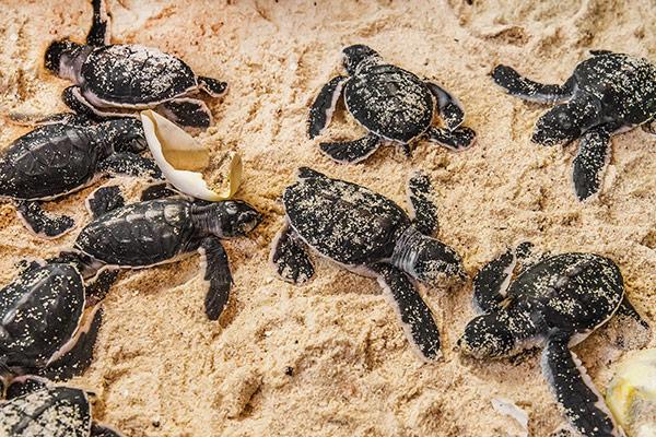 Indonésie : des bébés tortues naissent sur des plages devenues désertes