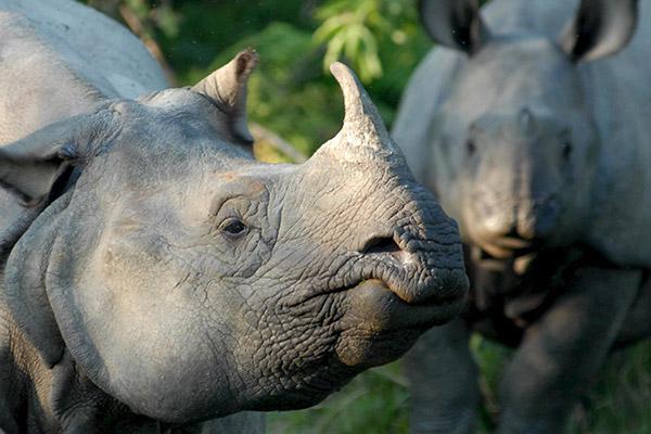 Népal : la population de rhinocéros unicornes en hausse
