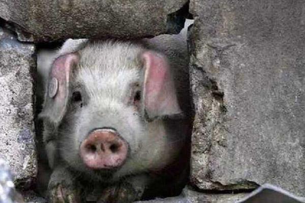 La Chine pleure la mort d'un cochon qui a survécu au séisme de 2008