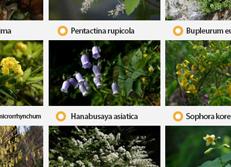 33 растения Корейского полуострова в Красном списке МСОП