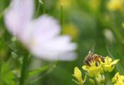 Chú ong chăm chỉ