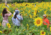 Sunflowers in Jeju