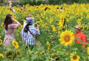 زهور دوار الشمس في جيجو